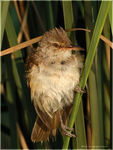Title: Great Reed Warbler #4