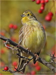 Title: Yellowhammer #2