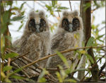 Title: Nestlings of  Long-eared Owl