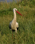 Title: The stork in grass