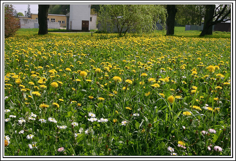 A lawn of  the dandelions