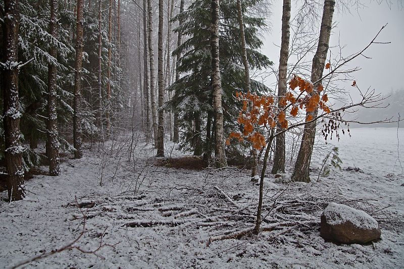 the forest in  first snow