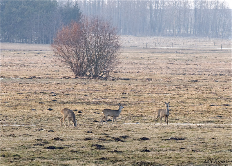 Landscape with roedeers