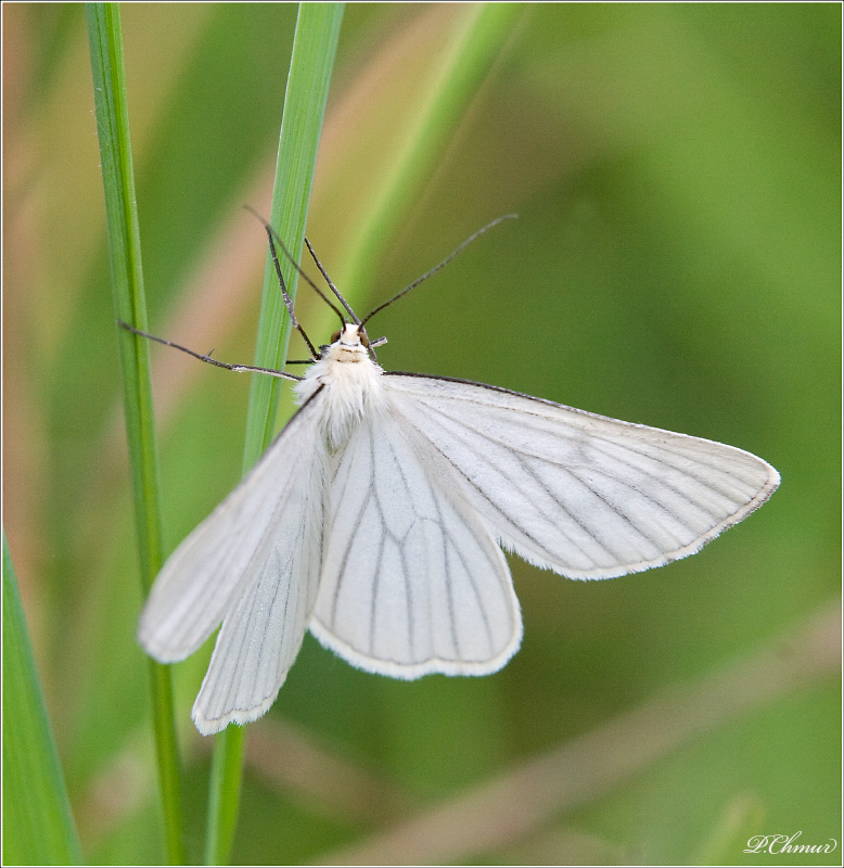 The Black-veined Moth