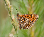 Title: The Meadow Fritillary