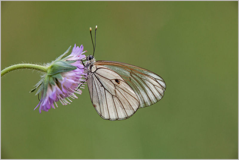 Aporia crataegi, the black-veined white
