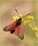 Title: Transparent Burnet Zygaena purpuralisCanon 30D