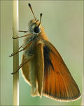 Title: The Large Skipper (Ochlodes sylvanus)
