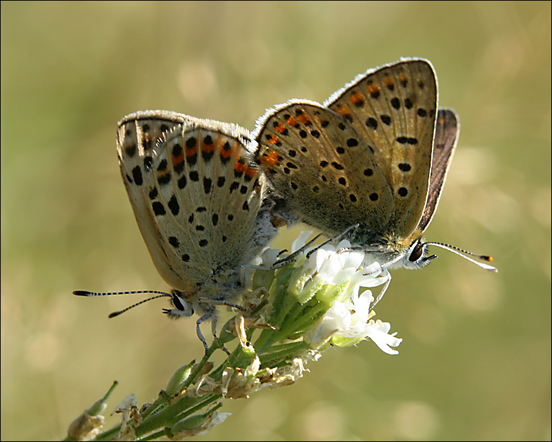 Sooty Copper mating