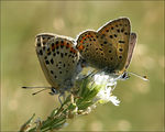 Title: Sooty Copper mating