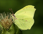 Title: Common Brimstone