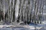 Title: The birches in  frost