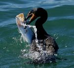Title: For Dinner:  Trout on Duck
