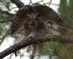 Title: Owl in Take-off