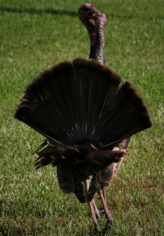 The Turkey Ouch