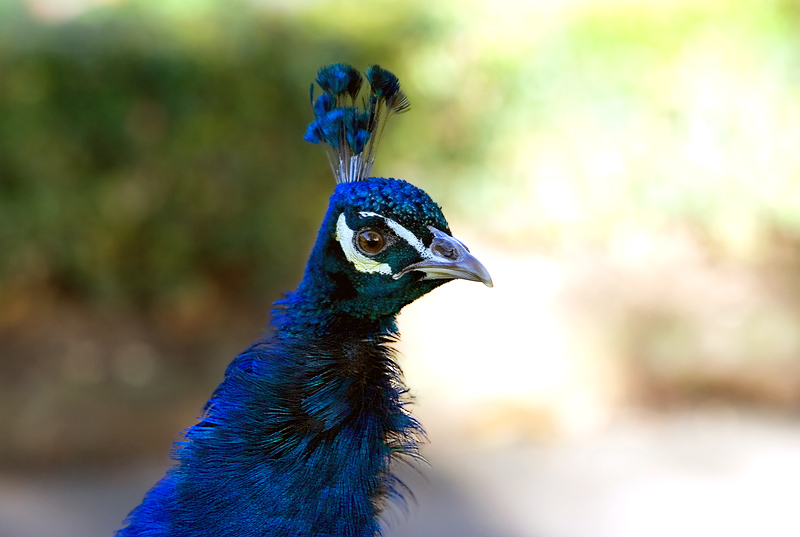 indian peacock information There are two species of peafowl: indian peafowl and green peafowl interesting peacock facts: male peafowl is called peacock while female is called peahen.