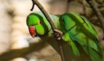 Title: Rose Ringed ParakeetCanon 350D