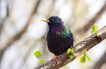 Title: Starling  in Sunlight