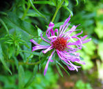 Title: greater Knapweed