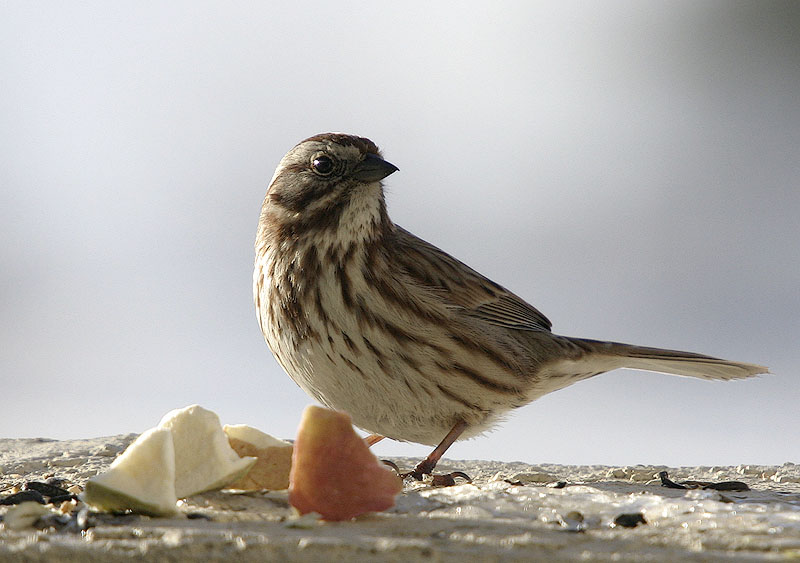 Song Sparrow. Late breakfast.