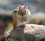Title: Eastern Chipmunk