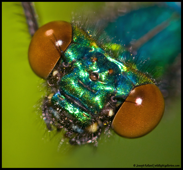 Banded Demoiselle close-up