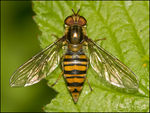Title: Marmalade Hoverfly!