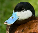 Title: Ruddy Duck! *For Rob Fry*