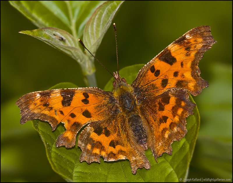 Comma Butterfly *For Peter Stoeckl*