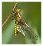Title: Female Broad-Bodied Chaser