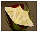 Title: Swallow-tailed Moth