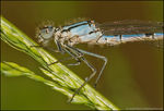 Title: Common Blue Damselfly