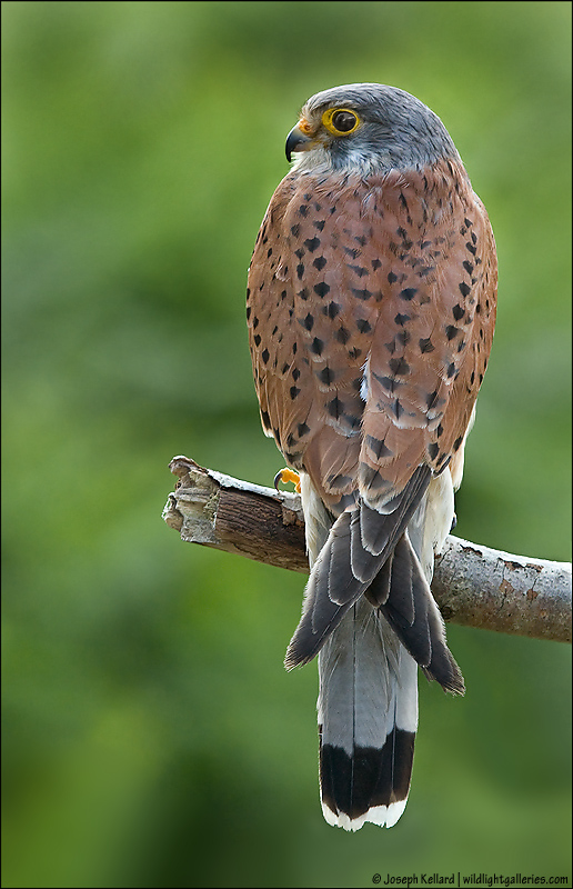Common Kestrel *For Aido*