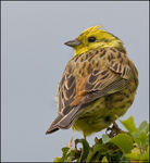Title: Yellowhammer!!! :-D