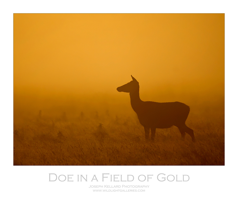 Doe in a Field of Gold *For Bob Shannon*
