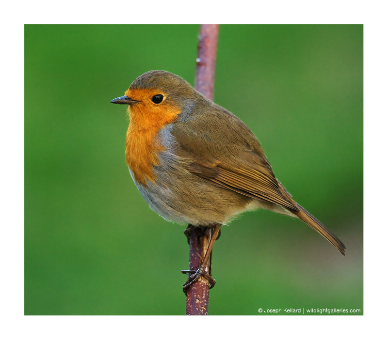 Another Robin :-)