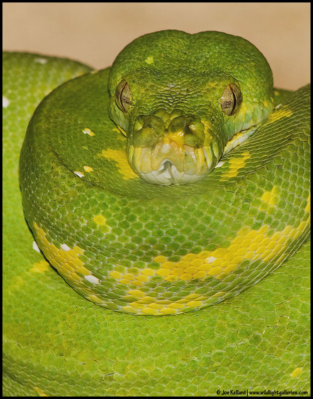 Emerald Tree Boa *For Bayram*