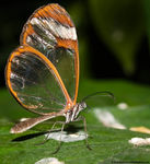 Title: Glasswing Butterfly *For Sumon*