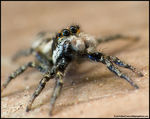Title: Zebra Spider *For Fartash*