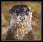 Title: Oriental Small-clawed Otter