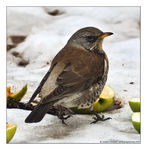Title: Fieldfare in the Snow!Canon EOS 400D (Rebel XTi)