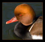 Title: The Red Eye of a Pochard