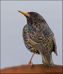 Title: Starling *For Gert*
