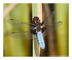 Title: Broad-bodied Chaser