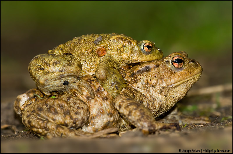 Mating Toads!