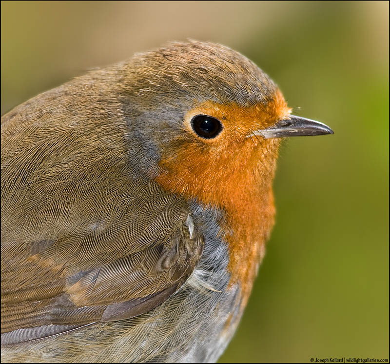 Robin Close-up *For Argus*