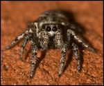 Title: Zebra Spider *For Haraprasan*