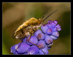 Title: Bee Fly!!!