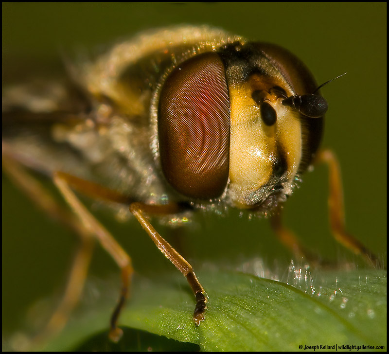 A resting Hoverfly