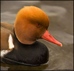 Title: Red-Crested Pochard *For Josh Lewis*